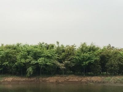 江苏省苏州市吴中区细叶鸡爪槭