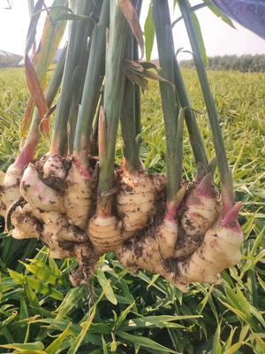这是一张关于姜种 带土 3两以上的产品图片