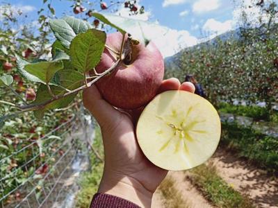 湖北省襄阳市宜城市冰糖心苹果 光果 全红 60mm以上