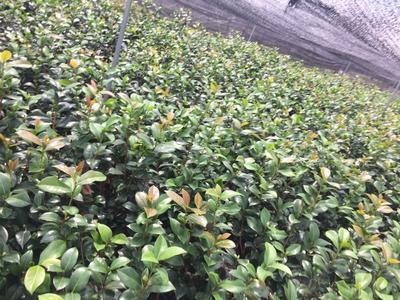 浙江省金华市婺城区茶花树 80~100cm