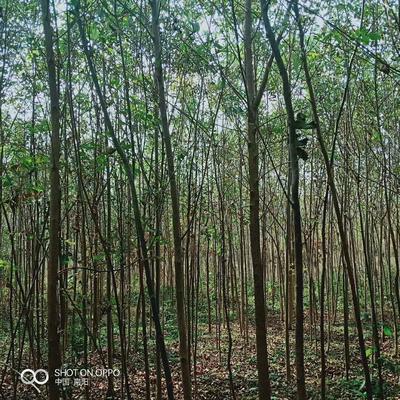 河南省郑州市金水区老式白蜡 3~3.5米