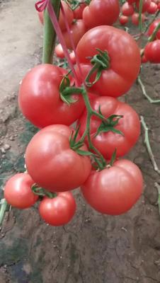山东省潍坊市寿光市大粉番茄苗 四两叶一心