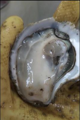 广东省广州市海珠区湛江牡蛎 人工殖养 2-3两/只