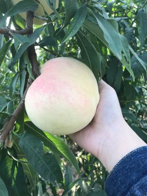 河北省邢台市南和县映霜红蜜桃 55mm以上 4两以上