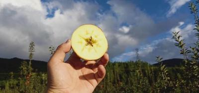 这是一张关于盐源苹果 光果 全红 60mm以上的产品图片