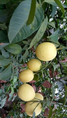 广东省深圳市龙岗区安岳柠檬 1 - 1.5两