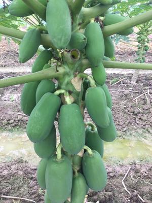 广西壮族自治区南宁市宾阳县红心木瓜 1.5 - 2斤