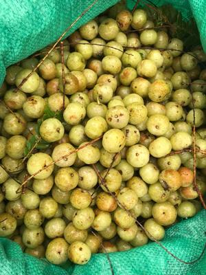 广西壮族自治区梧州市藤县甜种 2cm以下