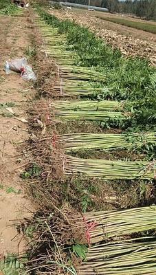 山东省泰安市岱岳区红油香椿苗 2公分以下