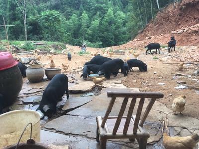 江西省赣州市赣县藏猪 60斤以上