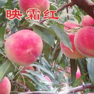 山东省滨州市沾化区映霜红蜜桃 55mm以上 3 - 4两
