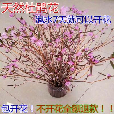 江苏省宿迁市沭阳县兴安杜鹃 0.5米以下