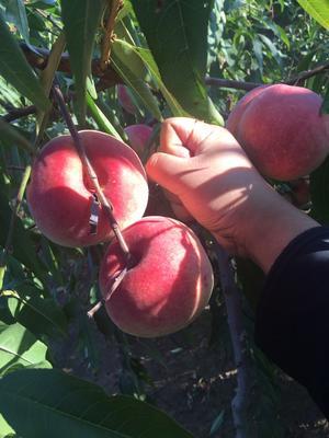 山东省青岛市莱西市映霜红蜜桃 80mm以上 5.0两