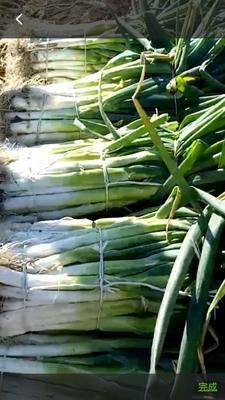 这是一张关于长白大葱 3cm左右 40cm以上 毛葱的产品图片