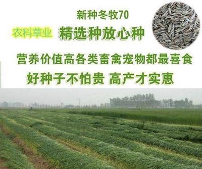 江苏省苏州市吴江市冬牧70种子