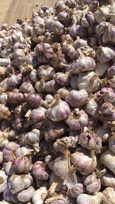 重庆江北区紫皮大蒜 5~5.5cm 多瓣蒜