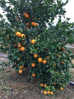 这是一张关于富川脐橙 55 - 60mm 4-8两的产品图片