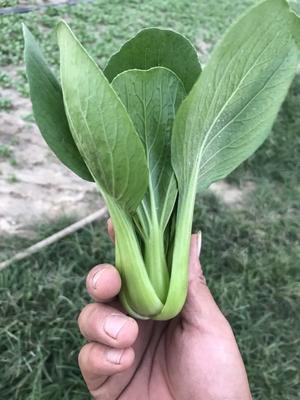 山东省菏泽市曹县北方小油菜 1~2两