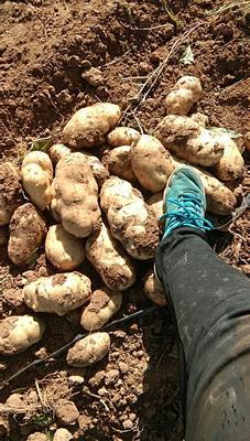 内蒙古自治区乌兰察布市四子王旗荷兰15号土豆 3两以上