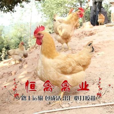 这是一张关于三黄鸡苗的产品图片