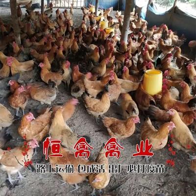 这是一张关于青脚土鸡苗的产品图片