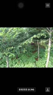 云南省昆明市石林彝族自治县南方红豆杉 2.5~3米