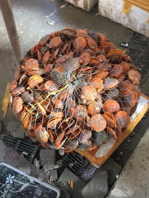 黄金扇贝 人工殖养 0.1-0.9只/公斤