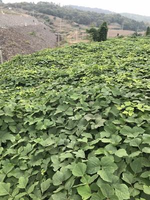安徽省合肥市庐江县野生葛根 4.5斤以上