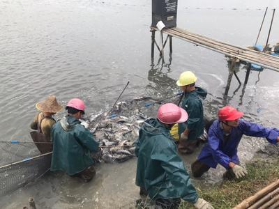 广东省阳江市江城区巴沙鱼 人工养殖 1-1.5公斤
