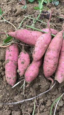 广东省茂名市高州市广东红薯 红皮 3两~6两