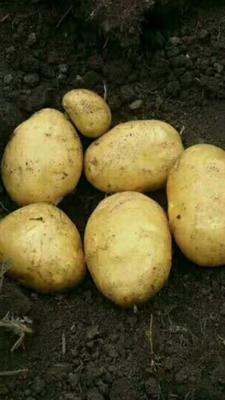 内蒙古自治区赤峰市喀喇沁旗荷兰15号土豆 3两以上