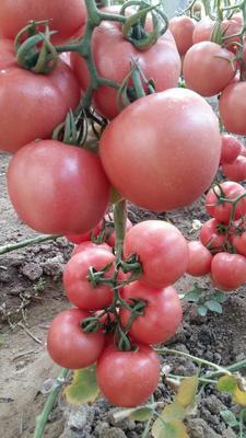 山东省潍坊市寿光市硬粉番茄苗 三叶一心