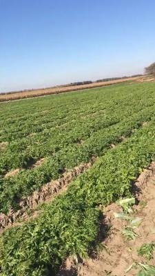 这是一张关于雪里红芥菜的产品图片