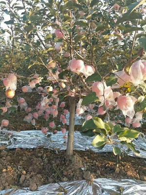 陕西省咸阳市武功县红富士苹果 纸+膜袋 条红 75mm以上