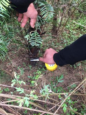 陕西省西安市长安区南方红豆杉 2.0~2.5米