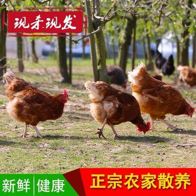 江苏省盐城市阜宁县土鸡 统货 2-3斤