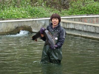 广西壮族自治区崇左市扶绥县生态草鱼 人工养殖 1.5-3公斤