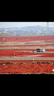新疆维吾尔自治区塔城地区沙湾县干线椒