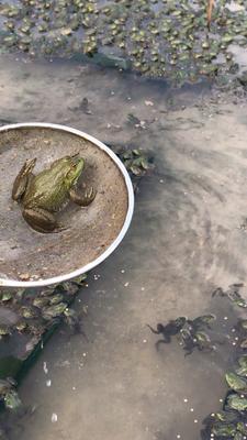 福建省泉州市安溪县美国青蛙
