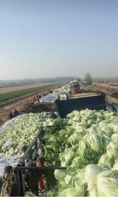 吉林省四平市双辽市东北大矮白菜 6~10斤 净菜