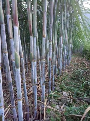 江西省赣州市崇义县茅蔗红糖