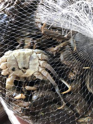 这是一张关于洪湖螃蟹 2.0-2.5两 公蟹的产品图片