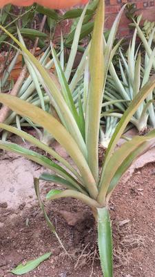 这是一张关于马拉一号菠萝蜜苗的产品图片