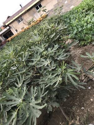 这是一张关于金傲芬无花果苗的产品图片