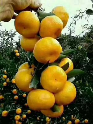 这是一张关于南丰蜜桔 4 - 4.5cm 1 - 1.5两的产品图片