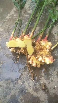 贵州省六盘水市六枝特区小黄姜 带土 9两以上