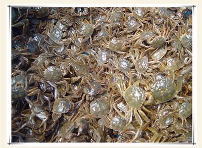这是一张关于河蟹苗的产品图片