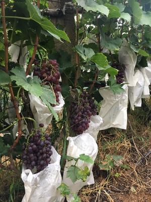 山东省烟台市招远市红宝石葡萄 10%以上 1次果 0.4-0.6斤