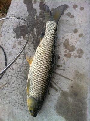 这是一张关于池塘草鱼 人工养殖 1.5-4公斤的产品图片