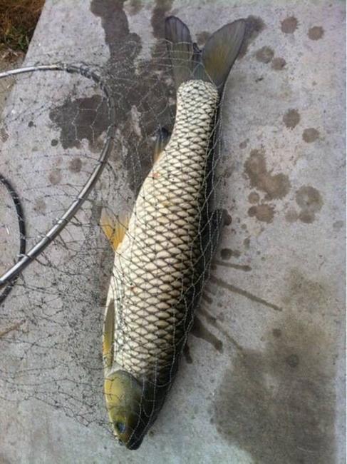 池塘草鱼 人工养殖 1.5-4公斤